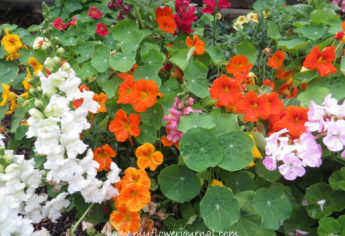 My Top 5 Reasons and Tips for Growing Nasturtiums