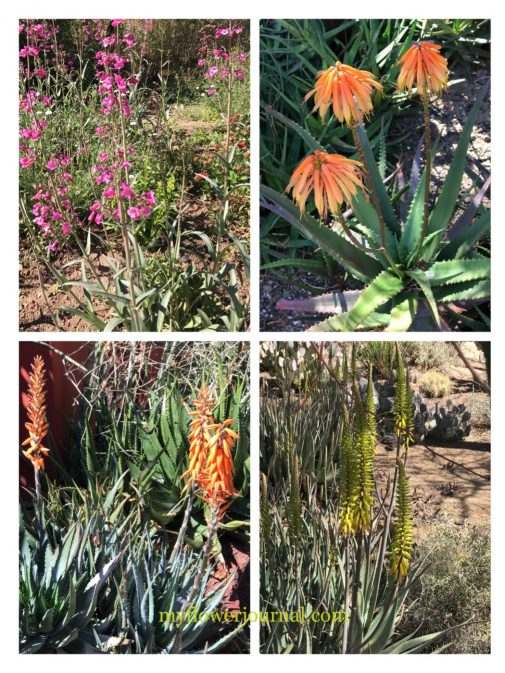 Use these photos from the Desert Botanical Garden to help you add watercolor cactus to your splattered paint flower art. myflowerjournal.com